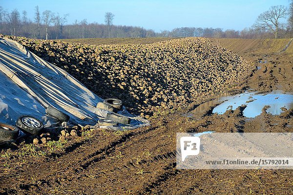 Pile of sugar beets (Beta Vulgaris) covered by tarpaulin in winter  January month  in Charlottenlund  Scania  Sweden.