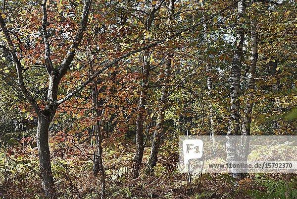 Feuillage automnal de l'alisier torminal entoure de bouleaux  foret de Rambouillet  departement des Yvelines  region Ile de France  France  Europe/autumn foliage of checker tree (Sorbus torminalis) surrounded by birch trees   forest of Rambouillet  Yvelines department  Ile de France region  France  Europe.