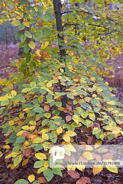 Feuillage d'automne de hetre  foret de Rambouillet  departement des Yvelines  region Ile de France  France  Europe/ beech's fall foliage  forest of Rambouillet  Yvelines department  Ile de France region  France  Europe.