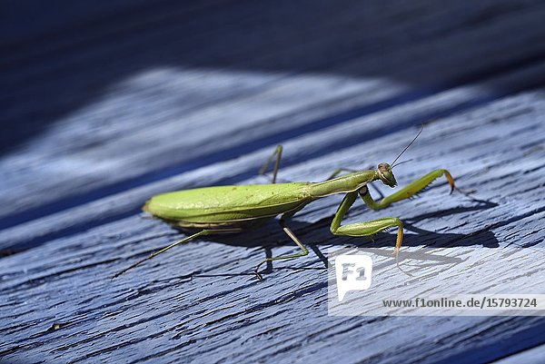 Praying mantis (Mantis religiosa) on a blue background  France  Europe.