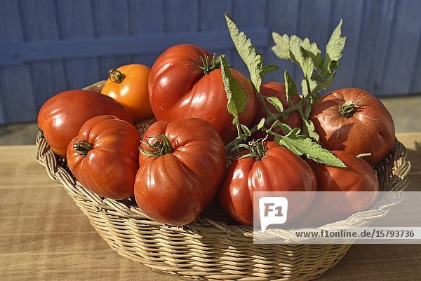 'Coeur de boeuf' tomatoes  France  Europe.