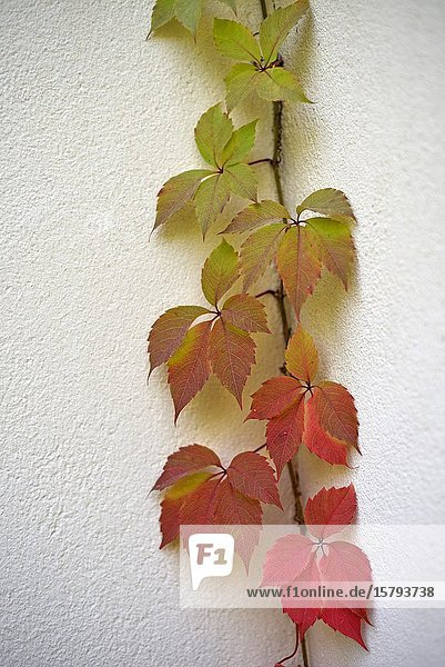 Virginia creeper (Parthenocissus quinquefolia)  France  Europe.