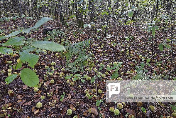 Chestnut burs on the ground  forest of Rambouillet  Yvelines department  Ile de France region  France  Europe.
