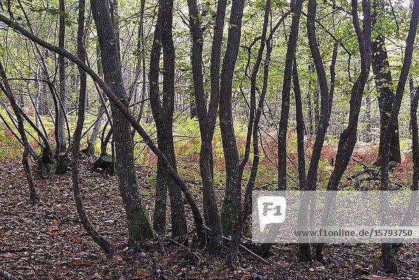 Hornbeams grove  forest of Rambouillet  Yvelines department  Ile de France region  France  Europe.
