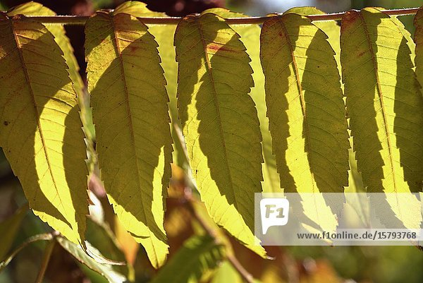 Leaves of staghorn sumac (Rhus typhina)  France  Europe.