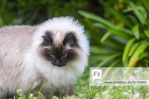 France  Finistère  Domestic cat  No purebred  A little Siamese  Looks like a Burmese cat.