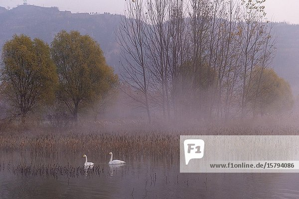 Chine  Province de Henan  Sanmenxia  Cygne chanteur ou Cygne sauvage (Cygnus cygnus)  au lever du soleil / China  Henan ptovince  Sanmenxia  Whooper swan (Cygnus cygnus)  at sunrise.