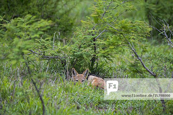 A black-backed jackal (Canis mesomelas) in the Manyeleti Reserve in the Kruger Private Reserves area in the Northeast of South Africa.