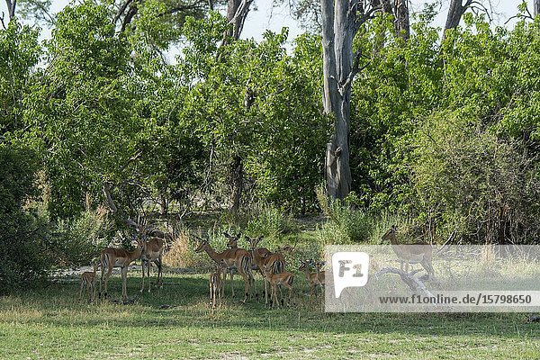 An Impala (Aepyceros melampus) herd with babies in the Gomoti Plains area  a community run concession  on the edge of the Gomoti river system southeast of the Okavango Delta  Botswana.