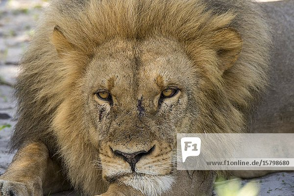 A male lion (Panthera leo) is sleeping in the shade of a bush in the Gomoti Plains area  a community run concession  on the edge of the Gomoti river system southeast of the Okavango Delta  Botswana.