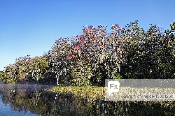 River landscape with reeds  trees with Spanish moss or (Tillandsia usneoides)  Rainbow River  Rainbow Springs State Park  Dunnelon  Florida  USA  North America