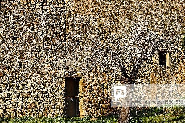 Mandelblüte  blühender Mandelbaum vor Naturstein-Haus  bei Lloseta  Mallorca  Balearen  Spanien  Europa