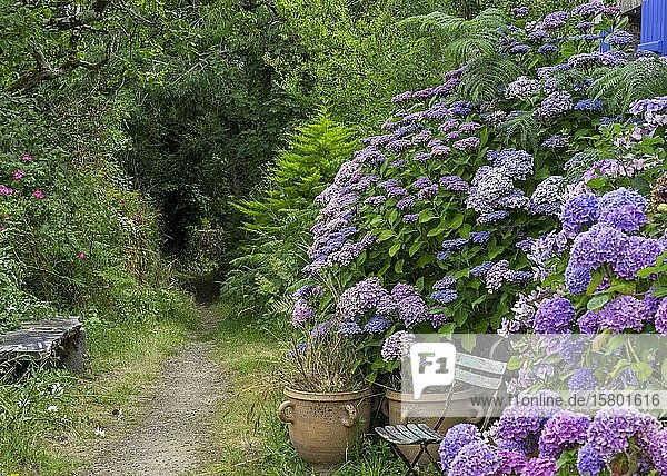 Path with hydrangeas and folding chair  Locronan  Département Finistère  France  Europe
