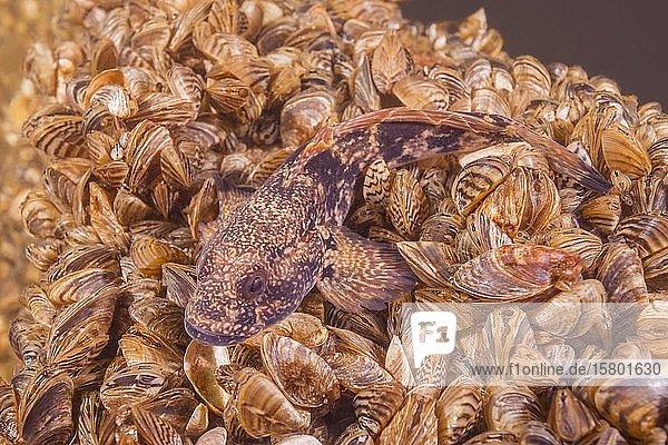 Nackthalsgrundel (Babka gymnotrachelus) liegt auf einer Kolonie Muscheln Wandermuschel (Dreissena polymorpha)  Dnjepr  Oblast Saporischja  Ukraine  Europa