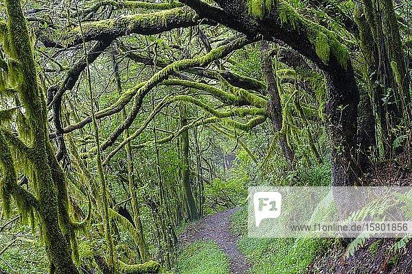Waldweg mit bemoosten Baumstämmen im Nebelwald  bei El Cedro  Nationalpark Garajonay  La Gomera  Kanaren  Spanien  Europa