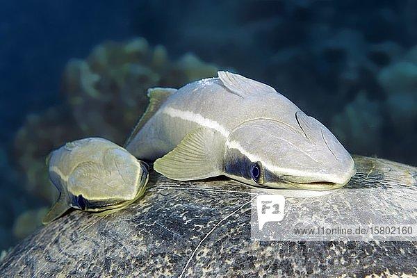 Zwei gestreifte Schiffshalter (Echeneis naucrates) auf Schild  Rücken von Meeresschildkröte  Rotes Meer  Ägypten  Afrika