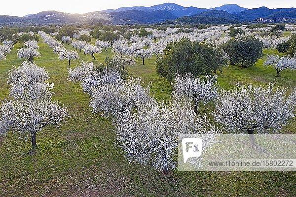 Mandelblüte  blühende Mandelbäume  Mandelplantage bei Bunyola  Serra de Tramuntana  Luftbild  Mallorca  Balearen  Spanien  Europa