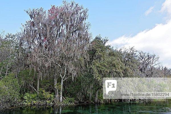 Flusslandschaft  Bäume mit Louisianamoos oder Spanisches Moos (Tillandsia usneoides)  Rainbow River  Rainbow Springs State Park  Dunnelon  Florida  USA  Nordamerika