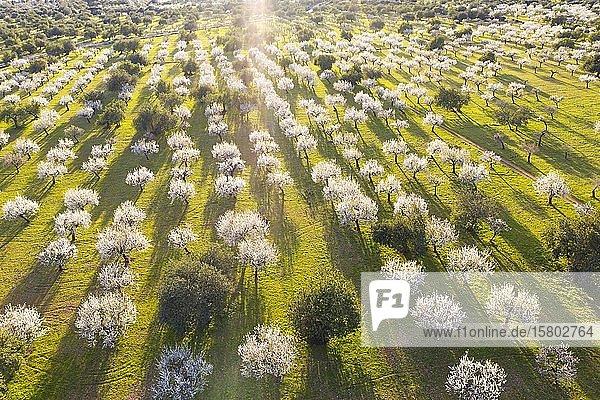 Mandelblüte  blühende Mandelbäume  Mandelplantage bei Bunyola  Luftbild  Mallorca  Balearen  Spanien  Europa