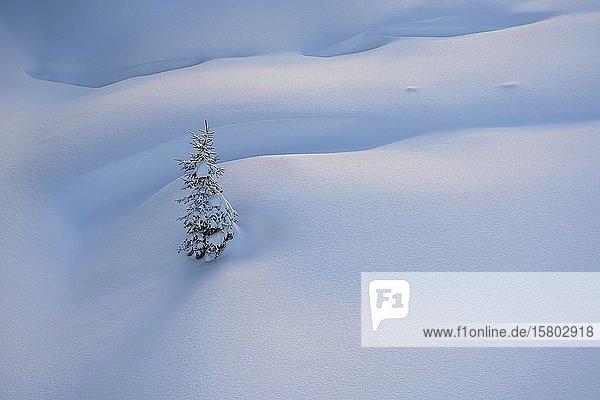 Kleine verschneite Fichte in unberührtem Neuschnee  Tirol  Österreich  Europa