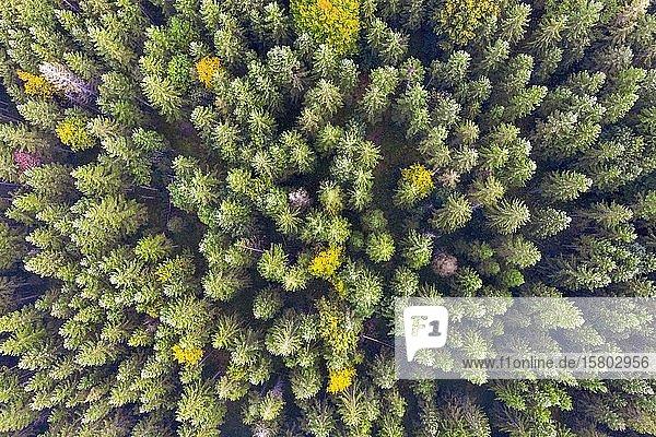 Herbstlicher Mischwald von oben  bei Krün  Drohnenaufnahme  Oberbayern  Bayern  Deutschland  Europa