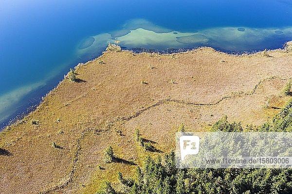 Uferbereich mit Schilfgürtel am Barmsee  bei Krün  Werdenfelser Land  Drohnenaufnahme  Oberbayern  Bayern  Deutschland  Europa