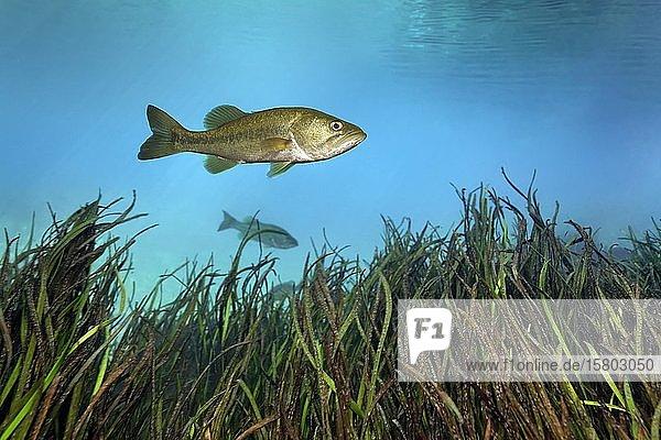 Forellenbarsch (Micropterus salmoides),  schwimmt über Schilf,  Rainbow River,  Rainbow Springs State Park,  Dunnelon,  Florida,  USA,  Nordamerika