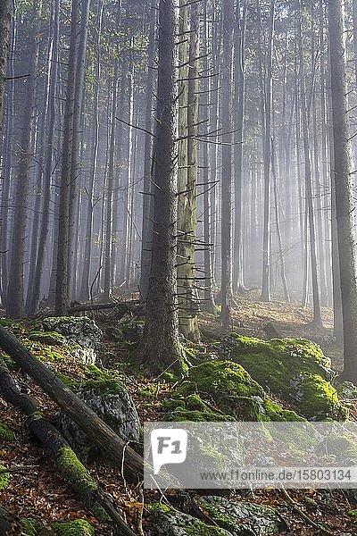 Nebel und Buchenwald  Aufstieg zum Lärlkogel  Traunkirchen  Oberösterreich  Österreich  Europa