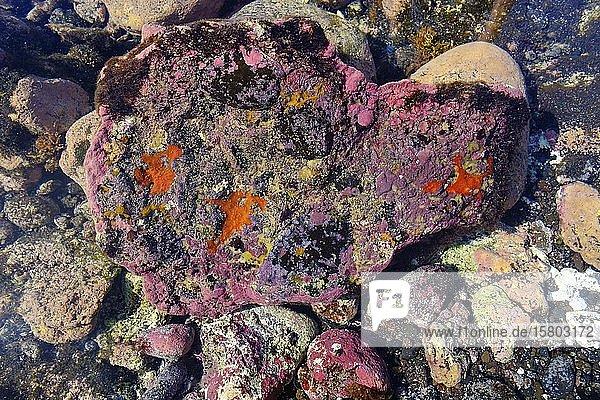 Bunter Aufwuchs auf Stein in Gezeitentümpel  Valle Gran Rey  La Gomera  Kanaren  Spanien  Europa