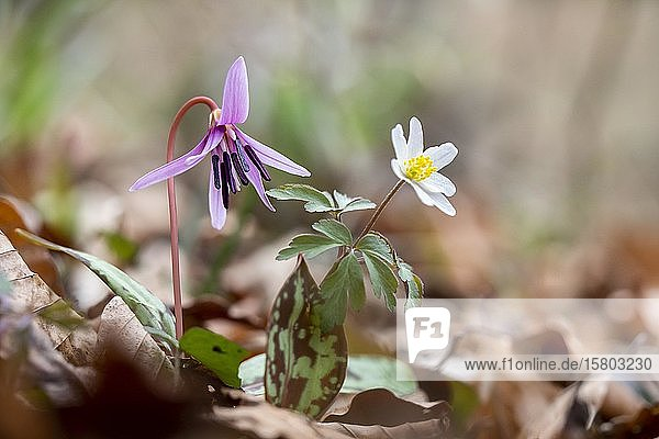 Hundszahnlilie (Erythronium dens-canis) und Buschwindröschen (Anemone nemorosa)  Steiermark  Österreich  Europa