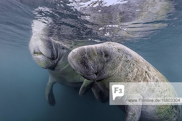 Paar Karibik-Manati oder Nagel-Manati (Trichechus manatus)  Three Sisters Springs  Manati Schutzgebiet  Crystal River  Florida  USA  Nordamerika
