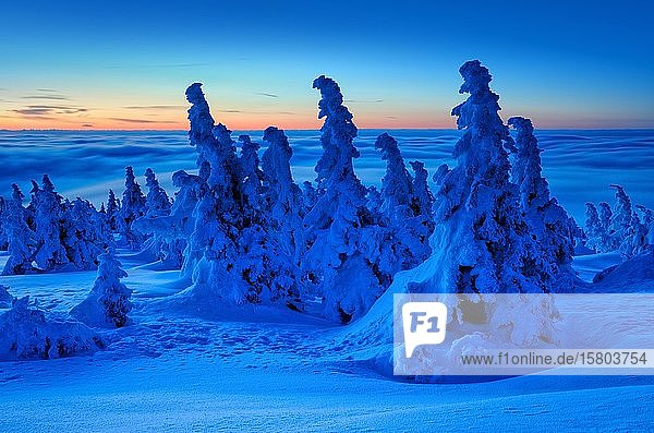 Before sunrise on the Brocken in winter  dawn  above the clouds  mountain spruces covered with deep snow  Harz National Park  Saxony-Anhalt  Germany  Europe