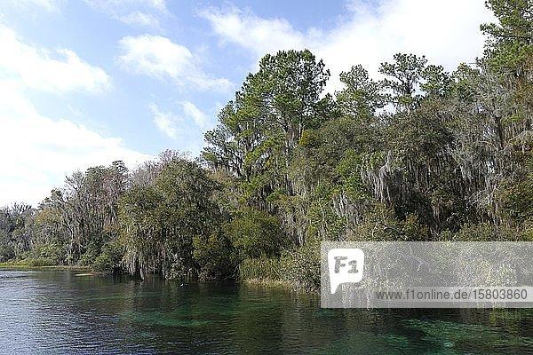 Flusslandschaft,  Bäume mit Louisianamoos oder Spanisches Moos (Tillandsia usneoides),  Rainbow River,  Rainbow Springs State Park,  Dunnelon,  Florida,  USA,  Nordamerika
