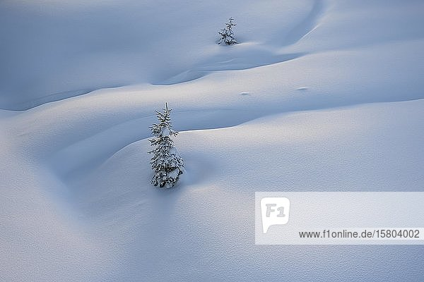 Small snowy spruces in untouched fresh snow  Tyrol  Austria  Europe
