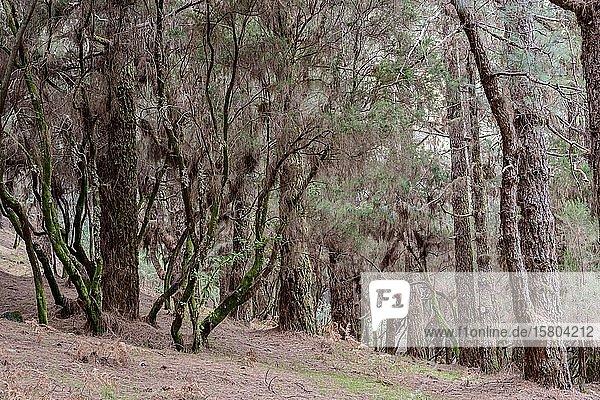 Mischwald aus Kanarischer Kiefer (Pinus canariensis) und Lorbeer (Laurus nobilis)  La Palma  Kanaren  Spanien  Europa