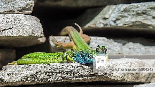 Östliche Smaragdeidechsen (Lacerta viridis)  Tierpaar auf Steinmauer  Serres  Griechenland  Europa