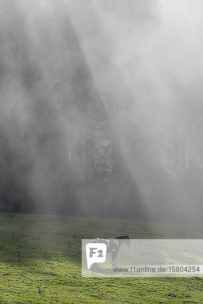 Pferd auf Weide und Nebelstimmung bei der Hochsteinalm  Traunkirchen  Oberösterreich  Österreich  Europa