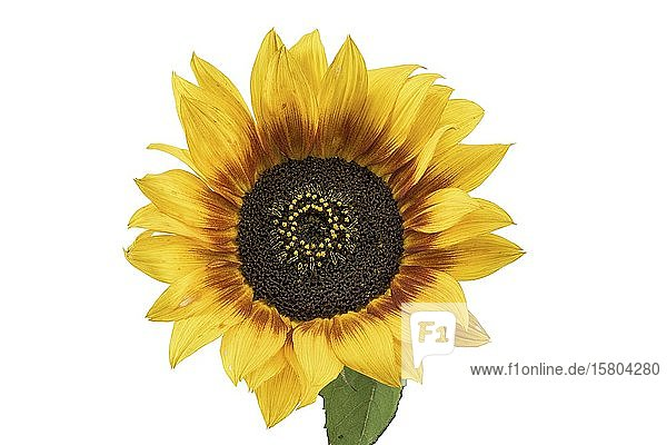 Sunflower (Helianthus annuus)  flower figured  background white  Germany  Europe