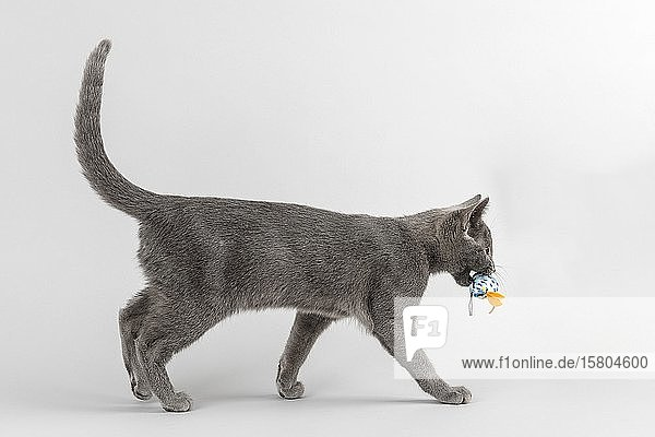 Breedcat Russian Blue (Felis silvestris catus)  12 weeks  young animal  with animal toy in mouth  light grey background  studio recording  Austria  Europe