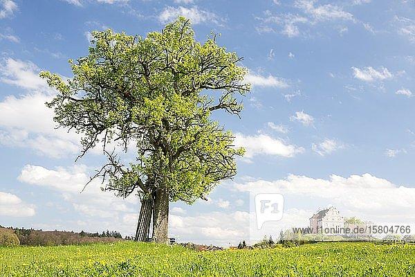 Frühling auf dem Bodanrück mit Schloss Freudental  Allensbach  Baden-Württemberg  Deutschland  Europa