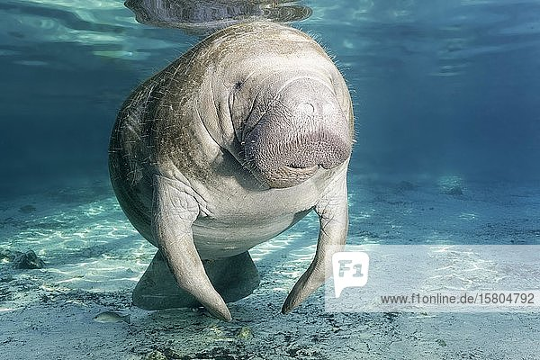 Karibik-Manati oder Nagel-Manati (Trichechus manatus),  weiblich,  Kuh,  Three Sisters Springs,  Manati Schutzgebiet,  Crystal River,  Florida,  USA,  Nordamerika