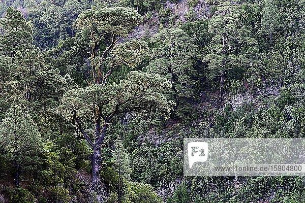 Majestätische Kanarische Kiefer (Pinus canariensis)  La Palma  Kanaren  Spanien  Europa