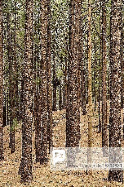 Wald mit Kanarische Kiefer (Pinus canariensis)  Hochformat  La Palma  Kanaren  Spanien  Europa