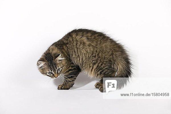 Maine Coon Katze (Felis silvestris catus)  Jungtier buckelt  Deutschland  Europa
