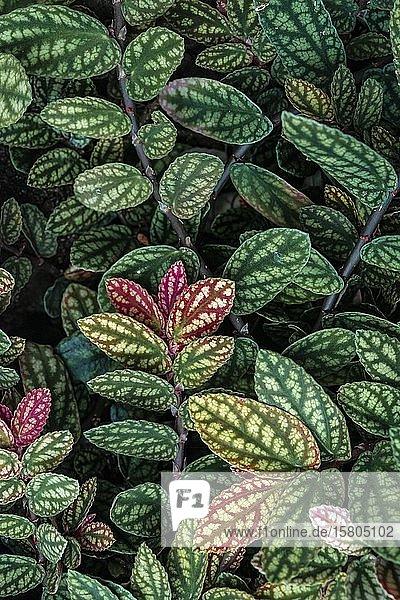 Grüne und lila gemusterte Blätter  Punktblume  Punktblatt (Hypoestes phyllostachya)  Botanischer Garten Berlin  Berlin  Deutschland  Europa