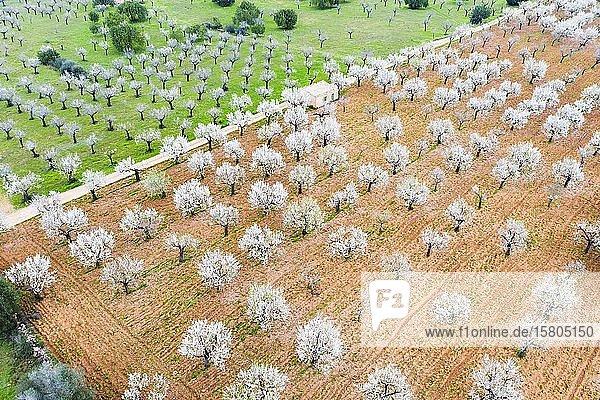 Mandelblüte  blühende Mandelbäume in Plantage  bei Marratxi  Luftbild  Mallorca  Balearen  Spanien  Europa