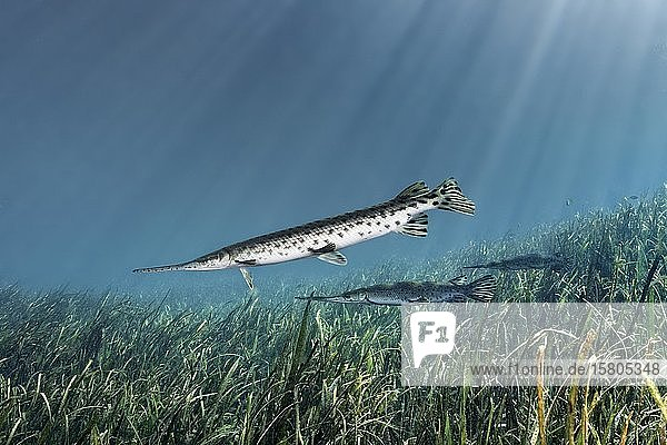Florida Knochenhecht (Lepisosteus platyrhincus)  drei  schwimmt über Unterwasserpflanzen  Rainbow River  Rainbow Springs State Park  Dunnelon  Florida  USA  Nordamerika