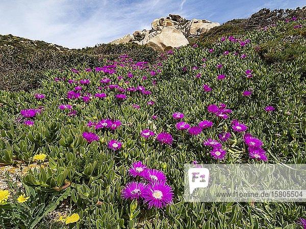 Transvaal Mittagsblumen (Delosperma sutherlandii) bei Capo Testa  Sardinien  Italien  Europa