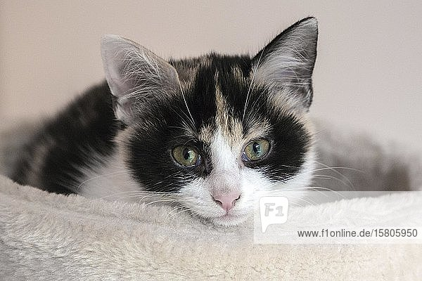 Young cat (Felis silvestris catus)  white  black  brown  lucky  lying in a basket  Baden-Württemberg  Germany