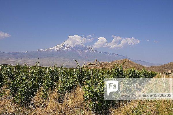 Weinanbau  Kloster Chor Virap und Berg Ararat  Provinz Ararat  Armenien  Asien